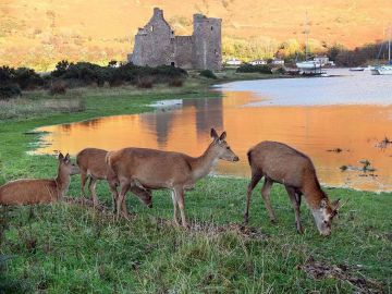 Arran Red deer