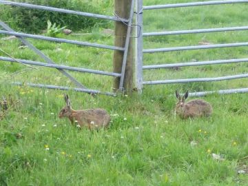 Farm brown hares