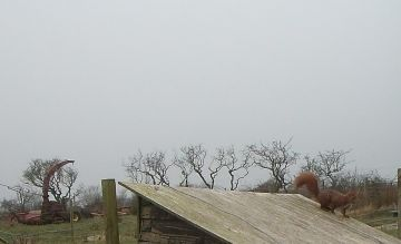 Farm red squirrel